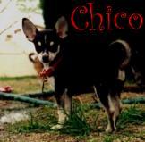 Chico's Chihuahua Bytes!